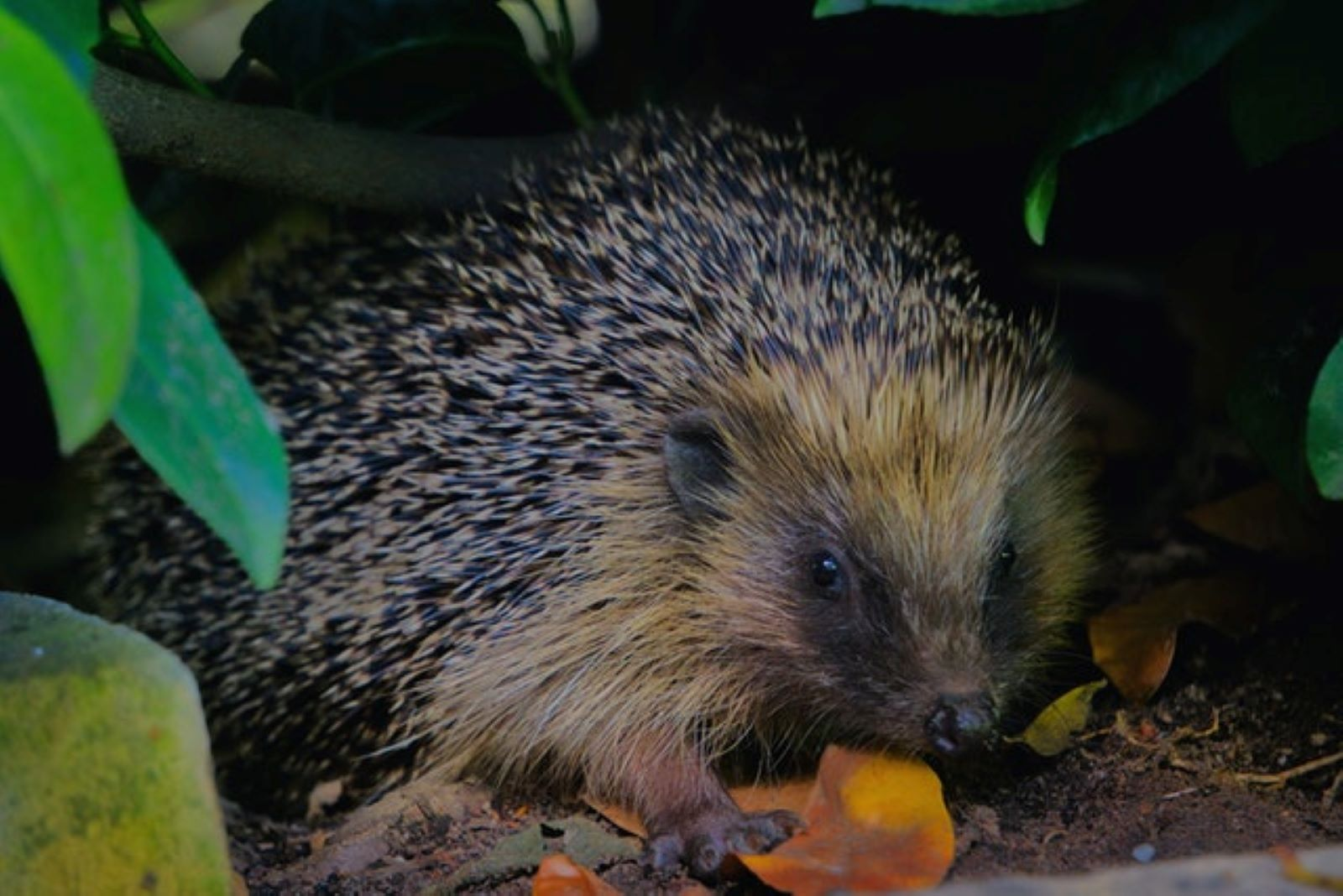 A Talk on Hedgehogs